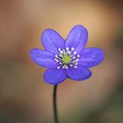Leberblümchen 4