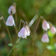 Moosglöckchen (Linnaea borealis)