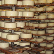 Knowing the processing of milk in a dairy; truffle cheese to mature