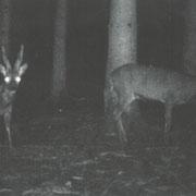 Rehbock in meiner Jagd 2012