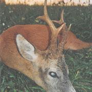 Erlegter Rehbock in meinem Jagdrevier