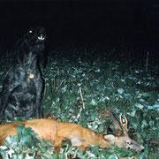 Yommi vom Donaueck beim Totverbellen 2000