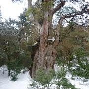 雪の縄文杉