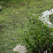 庭のホトトギスはこれからが本番です。