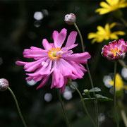 今年はきれいに咲きました。シュウメイギクです。