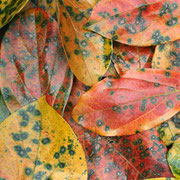 やっかいな柿の葉も色彩的には捨てがたい。