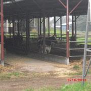 近くの牧場の牛
