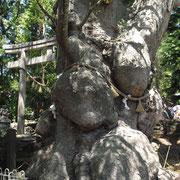 樹齢千年ぐらいありそうなケヤキ