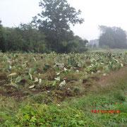 山芋は収穫を終えました。