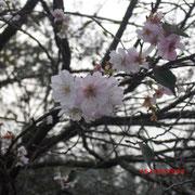 これって桜?この時期に?