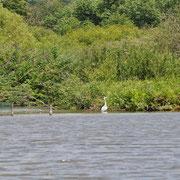 Un héron sur les étangs à la Grenouillère Frise Camping pêche Somme