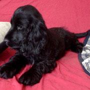 Chimaira vom Sachsenwald auf ihrem neuen Sofa!
