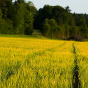 »Fields of gold« bei Morschreuth |© Bernhard Thum, Bild-ID TR-XX-20XX-004