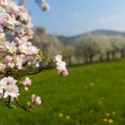 Apfel- und Kirschblüte bei Pretzfeld | © Bernhard Thum, Bild-ID TR-04-2014-001