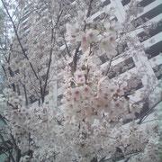 アクアゲートパークに咲く桜