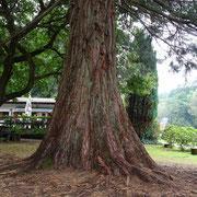 Ein kleiner Mammutbaum