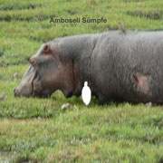Hippo im Amboseli