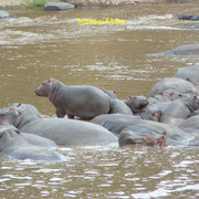 Hippos Massai Mara
