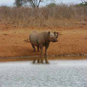 Rhino in Tsavo West