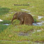 Elephant im Amboseli