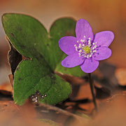 Leberblümchen (Anemone hepatica)