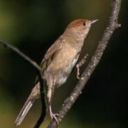 Mönchsgrasmücke - Sylvia atricapilla (weibliche Gipfelstürmerin)