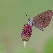 Dunkler Wiesenknopf-Ameisenbläuling (Phengaris nausithous)