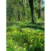 Frühling im Schlosspark. Gelbe Blumen und grünende Bäume, Baumstämme mit Efeu berankt. Foto: Helga Karl