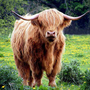Highlandrind