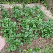 Kartoffelwachstum Tag 14