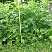 Kartoffelwachstum Tag 39 Wuchshöhe 01