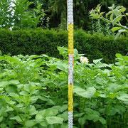 Kartoffelwachstum Tag 39 Wuchshöhe 02