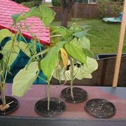Pflanztöpfe Buschbohnen 7-9 (unbehandelt)