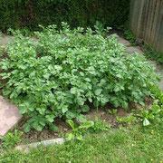 Kartoffelwachstum Tag 18