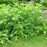 Kartoffelwachstum Tag 39