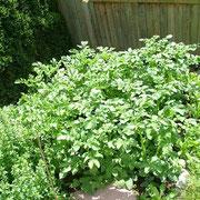 Kartoffelwachstum Tag 24