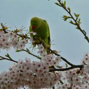 Diesen grünen Vogel haben wir in Warmond gesehen