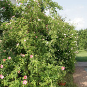 Sichtschutzhecke mit Wildrosen