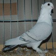 blaufahl mit weißen Binden