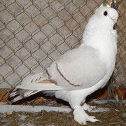braunfahl mit weißen Binden