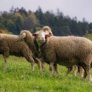 Die Schafe aus Waldhauses