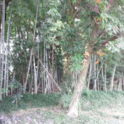 竹林の中で男の子同士で遊んだ、ちなみにこのころは運動が苦手でした