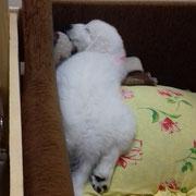 Мареммо-диванная овчарка. В родословной читать: мареммо-абруцкая овчарка