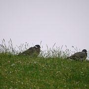 Taubenpaar auf der Deichkrone