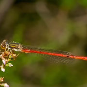 ein sehr junges Männchen der Späten Adonislibelle