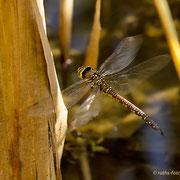 ein durchs dichte Schilf fliegendes Weibchen zu erwischen, war ein seltenes Glück