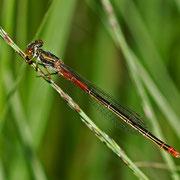 Weibchen der Forma typica