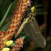 ein frisch geschlüpftes Männchen muss noch die Aushärtung der Flügel abwarten