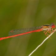 ein ausgereiftes Männchen der Späten Adonislibelle