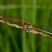 Tandem mit Weibchen Forma typica